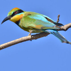 Rainbowbeeeater laurieboyle flickr cc