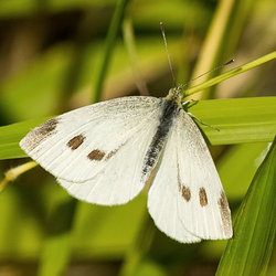 Cabbagewhite butterfly davidcook