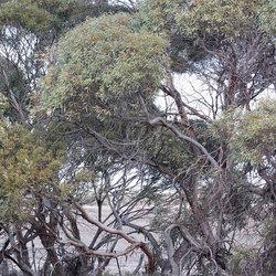 Blackmallee epondorosa arthurchapman