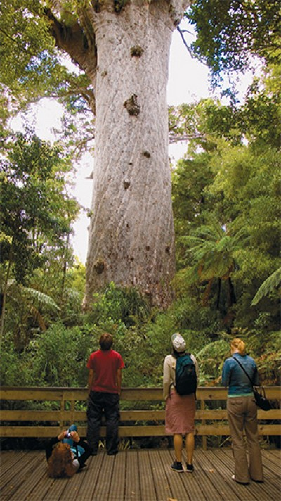 The ancient Tane Mahuta