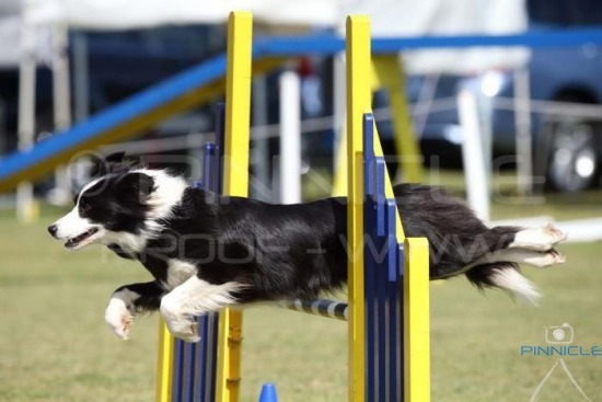 Illawarra Collie & Shetland Sheepdog Club 21 Sep 2014