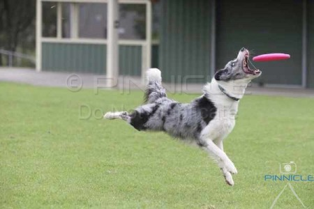 Canine Disc Castle Hill NSW - 26th April 2015