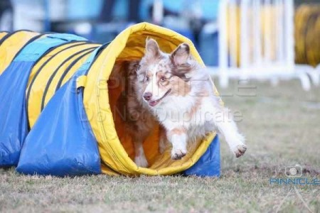 Aussie Shepherd Agility Trial NSW - 12th July 2015
