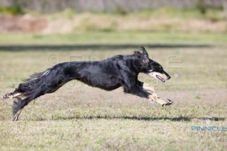 Lure Coursing - Dogs NSW Inaugural Trial - 26th July 2015