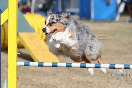 Aussie Shepherd Agility Trial NSW - 10th July 2016