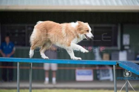 Agility Dog Club of NSW - 22 October 2016