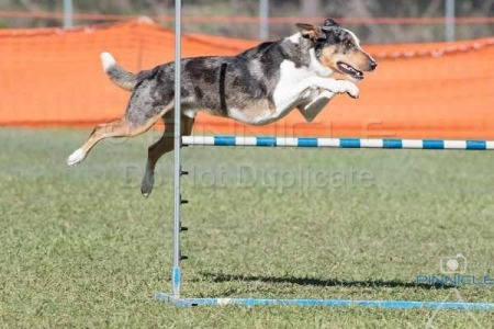 Newcastle Agility ANKC -  12th March 2017