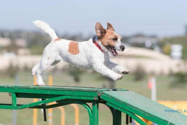 Goulburn Agility ANKC - 26 March 2017
