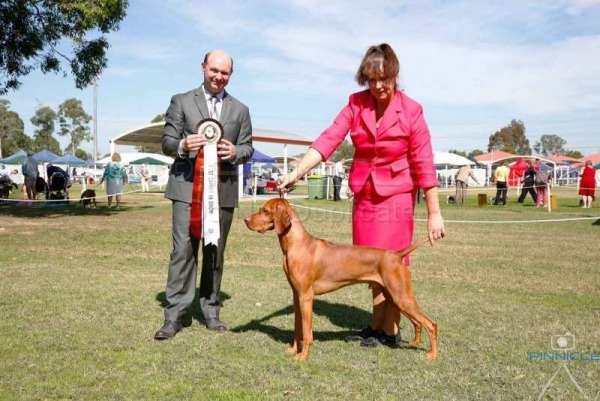 Show - Hungarian Vizsla Club of NSW - 16th April 2017