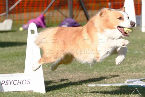 Psychos For Koolies - Flyball -  4th June 2017