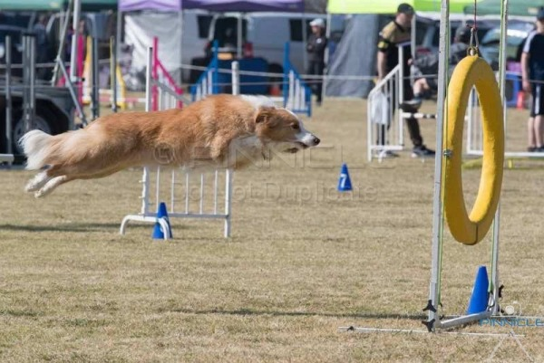 Spring Fair NSW ANKC Agility - 2 September 2017