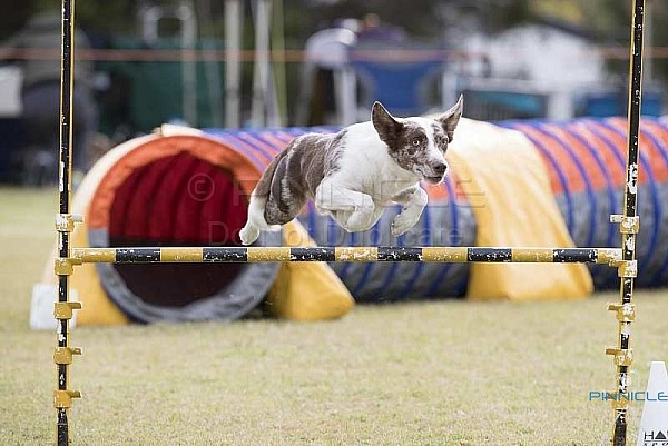 Agility - ANKC - Cessnock - 12th May 2018