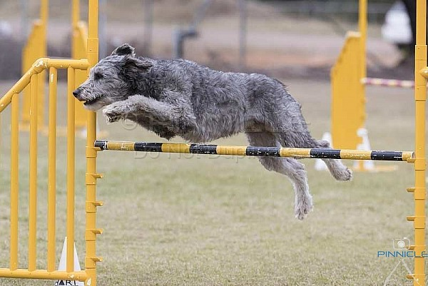 Agility - ANKC - Cessnock - 13th May 2018