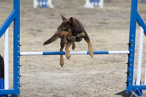 Agility - ANKC - Goulburn NSW - 2nd June 2018