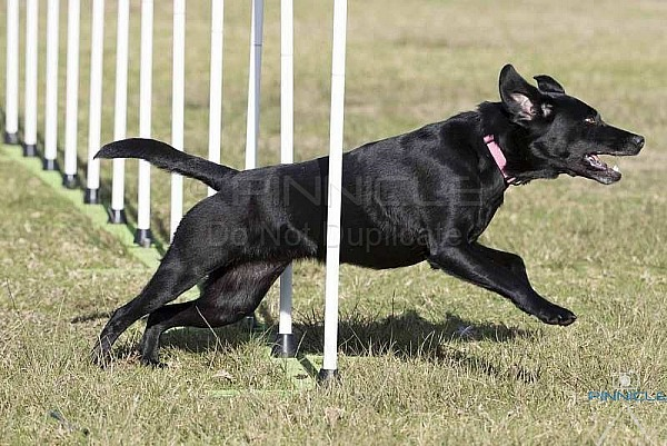 Agility - ANKC -  Central Coast Dog Obedience Training Club Kincumber - 1st July 2018