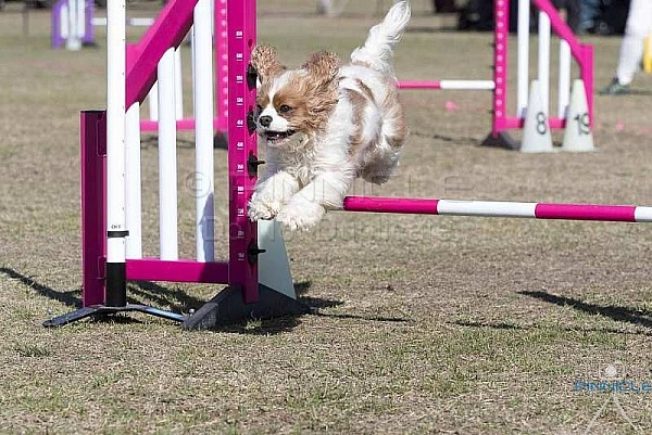 Agility - ANKC - Festival of Agility Sunday 9 Sep 2018