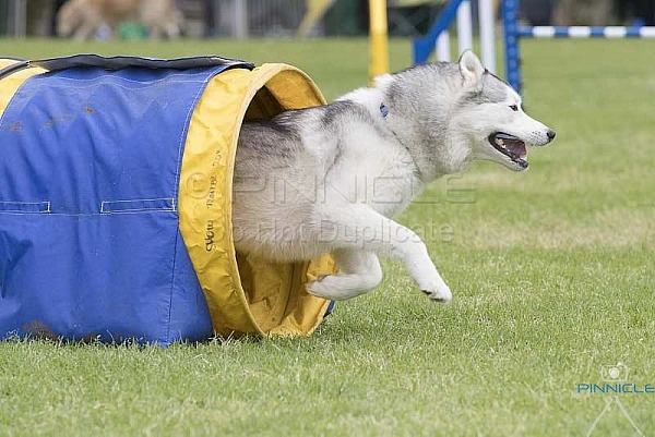 Agility - ANKC - ADC NSW - 28th Oct 2018