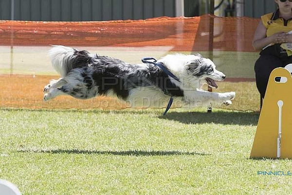 Flyball - Norwest 14th Birthday Bash - Castle Hill NSW - 11 Nov 2018