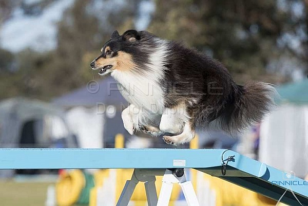 Agility - ANKC - Manly - 3 August 2019