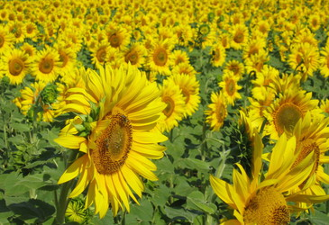 Sunflowers: source of stability in proteins