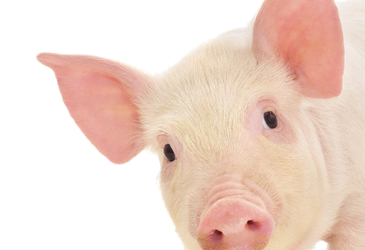 Pooey pigs could be a thing of the past