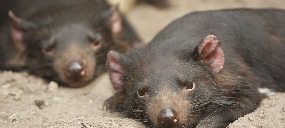 Trialled in the wild — the Tasmanian devil vaccine