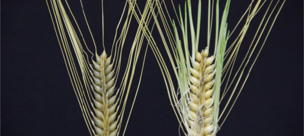 From bread to beer — the gene mutation in barley