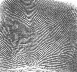 Fingerprint_Loop. http://en.wikipedia.org/wiki/File:Fingerprint_Loop.jpg