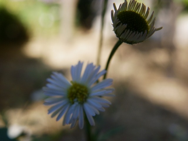white daisy facing