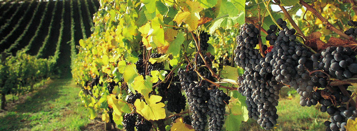 barossa_grapes