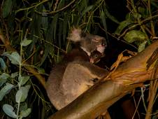 Hanson Bay Wildlife Sanctuary Nocturnal Tour Koala and Baby