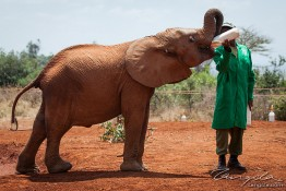 D. Sheldrick Wildlife Trust, Kenya img_6640