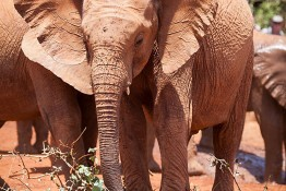 D. Sheldrick Wildlife Trust, Kenya img_6897