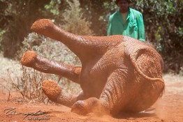D. Sheldrick Wildlife Trust, Kenya img_6917