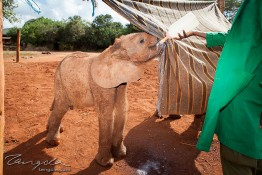 D. Sheldrick Wildlife Trust, Kenya img_7093