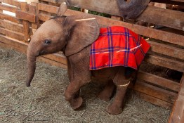 D. Sheldrick Wildlife Trust, Kenya img_7246