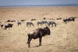 Masai Mara NP, Kenya img_7829