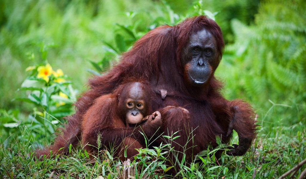 Female orangutans