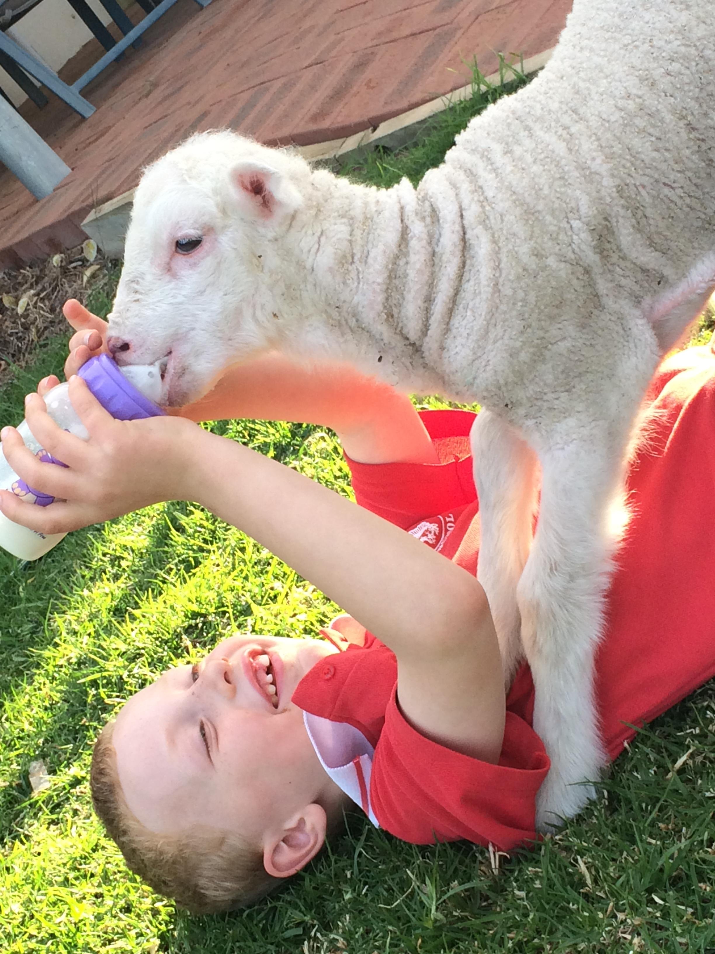 feeding lamby luke