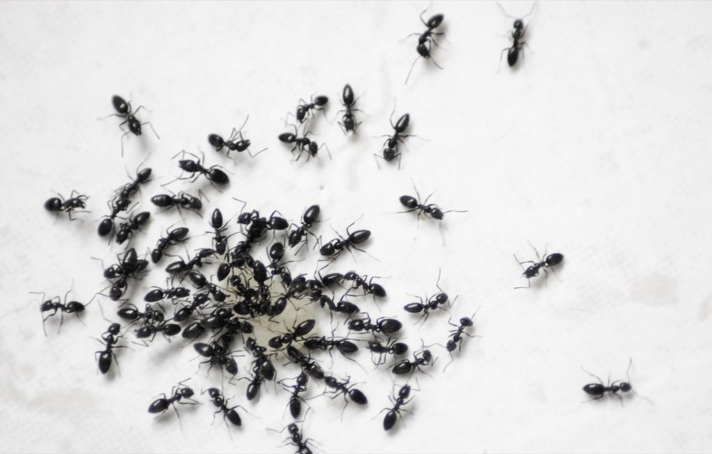 pest control ants