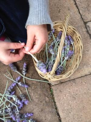 lavender immy