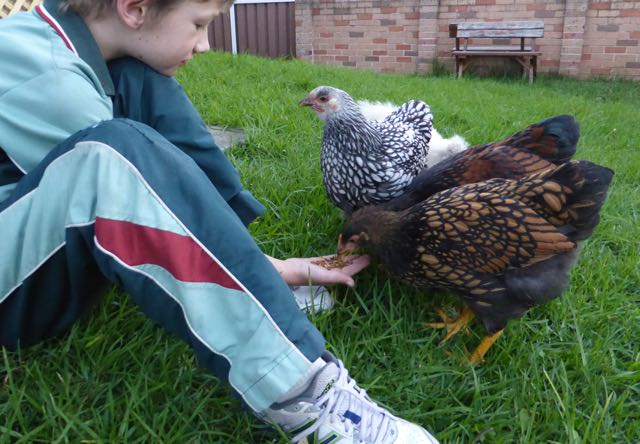Ollie chickens