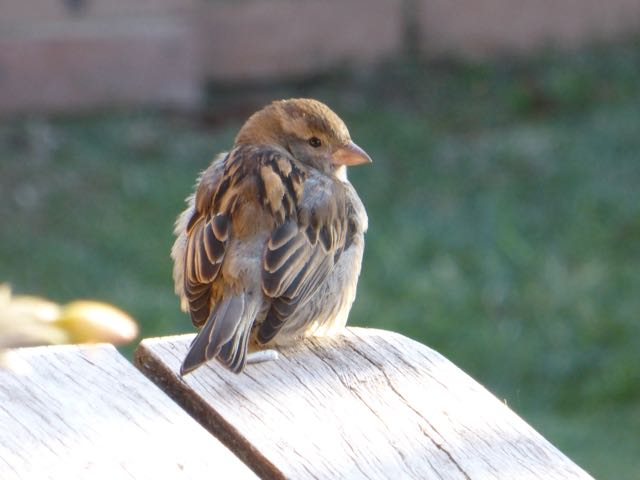 sparrow looking 2