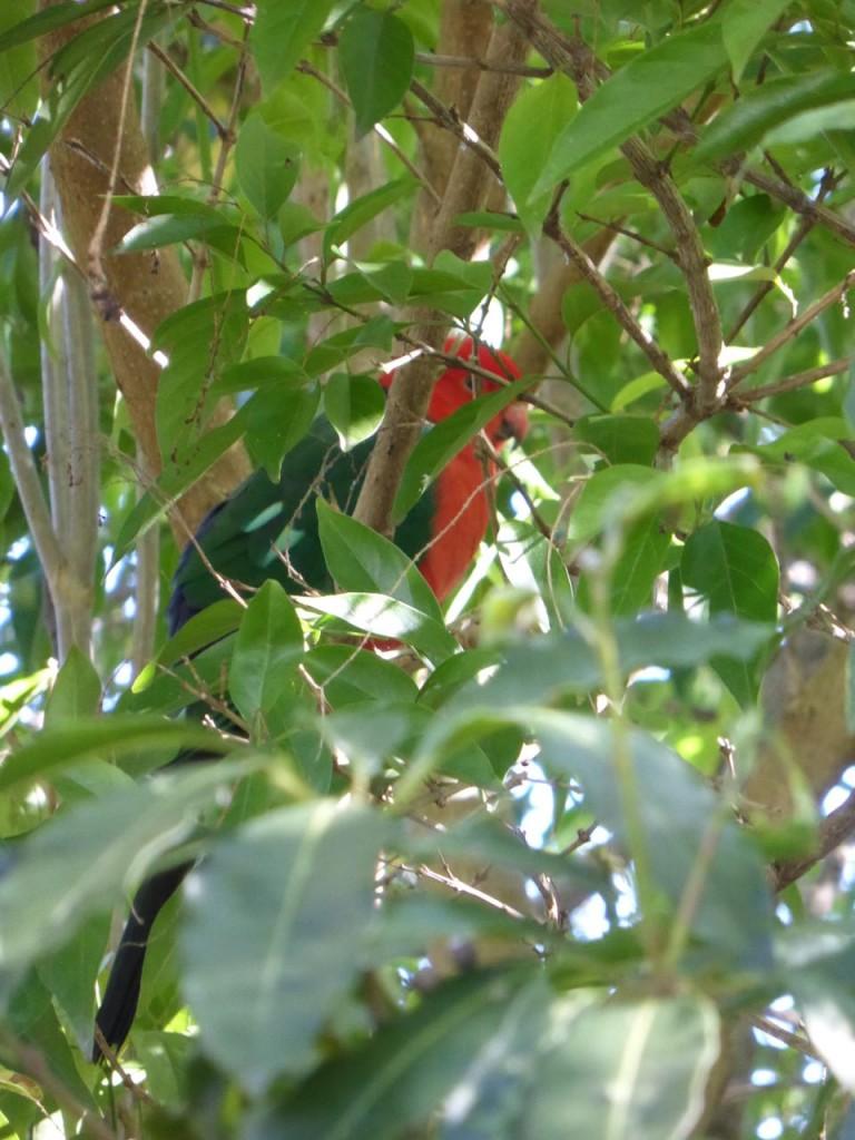 parrot hiding 3A