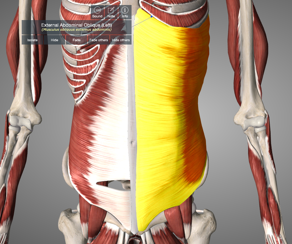 Figure 7: External Abdominal Oblique Muscle (from Essential Anatomy App)