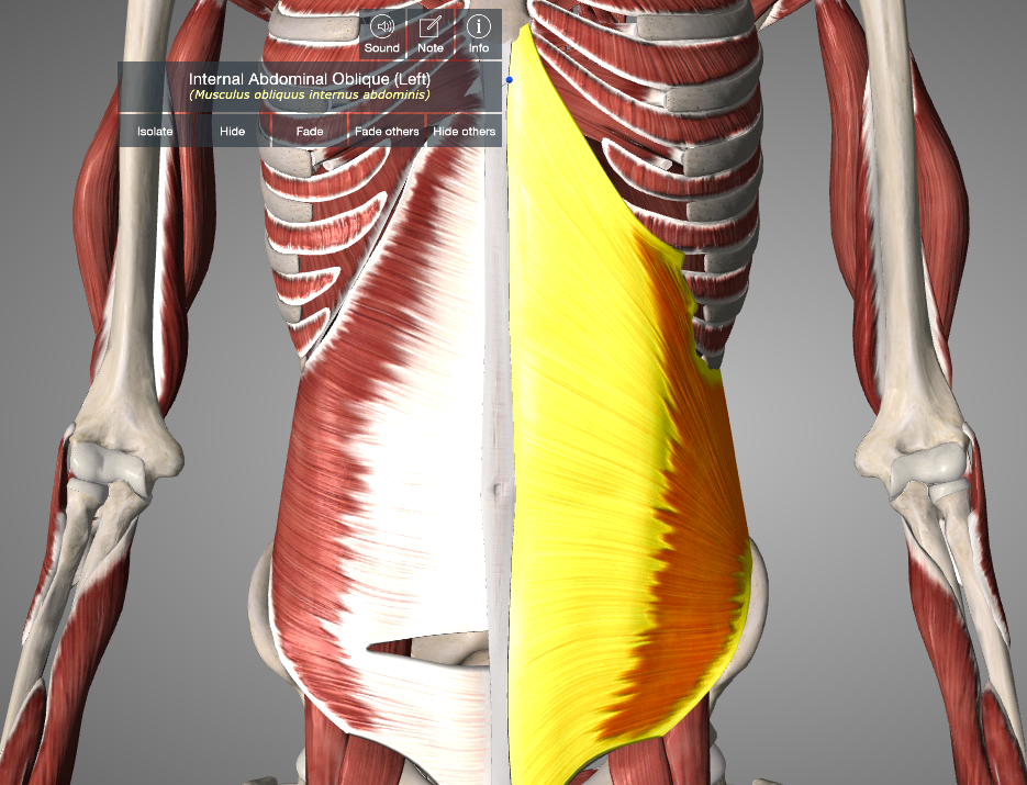 Figure :External Abdominal Oblique Muscle (from Essential Anatomy App)
