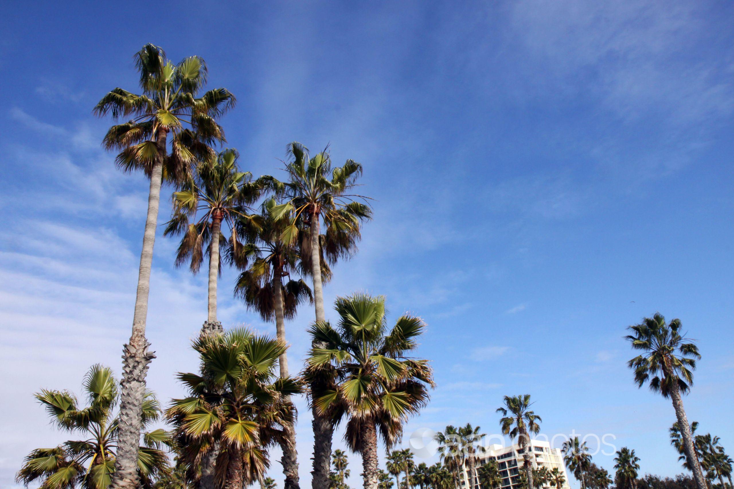 Palm trees along the Santa Monica Boulevard, Santa Monica, USA.