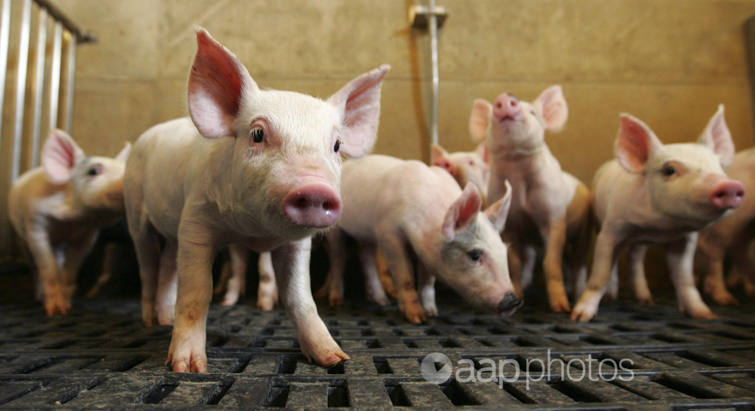 Pigs roam in their pens at a farm in the US.