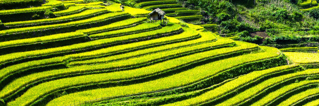Vietnam paddy fields
