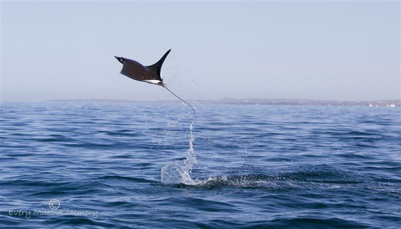 flyingmanta